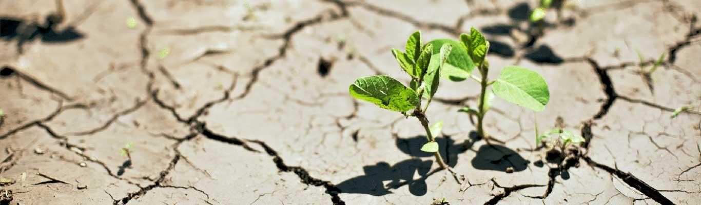 Drought resistant soybean plants