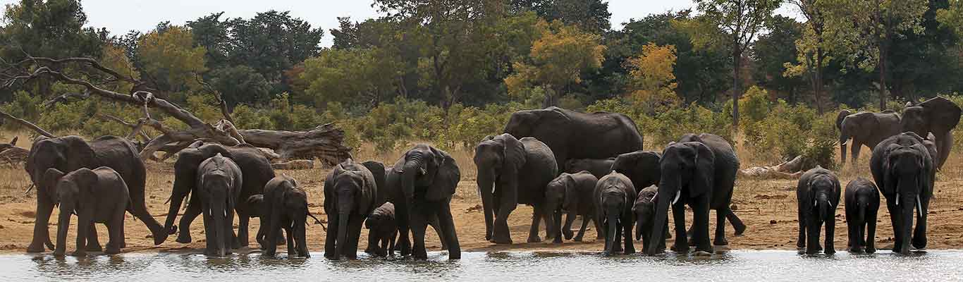 Elephant herd drinking